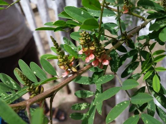 Indigo plant (indigofera suffruticosa); PhotoCredit: Guo Jiang
